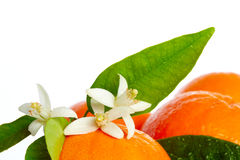 Oranges with orange blossom flowers on white Royalty Free Stock Image