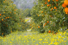 Oranges. orange garden. Stock Photos