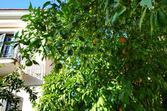 Oranges. Orange tree in the center of Volos,Greece Royalty Free Stock Images