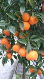 Oranges in orange tree Royalty Free Stock Photography