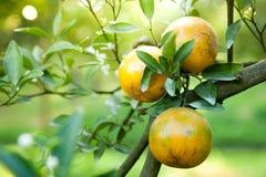 Oranges on orange tree Royalty Free Stock Photos