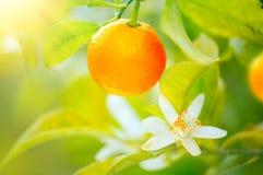 Oranges ou mandarines mûres accrochant sur un arbre Élevage orange juteux organique Photographie stock