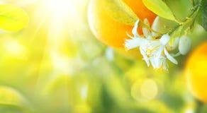 Oranges ou mandarines mûres accrochant sur un arbre Photographie stock