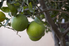 Oranges plant Royalty Free Stock Photo