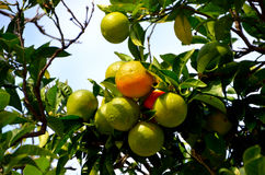 Oranges ripen on the tree Royalty Free Stock Photography