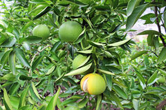 Oranges ripening on the branch. In the park Royalty Free Stock Photo
