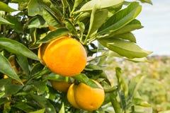 Oranges ripening on orange tree Stock Photos