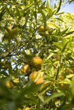 Oranges ripening on the tree royalty free stock image