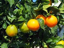 Oranges Ripening on Tree. After rain, a healthy source of vitamin C and fibre, home grown Stock Images