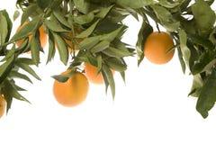 Oranges s'élevant dans la batterie Photographie stock libre de droits