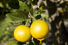 Oranges. Sicilian oranges on a tree Royalty Free Stock Photo