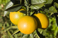 Oranges. Sicilian oranges on a tree Stock Photos
