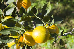 Oranges. Sicilian oranges on a tree Stock Photo