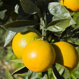 Oranges. Sicilian oranges on a tree Stock Photography