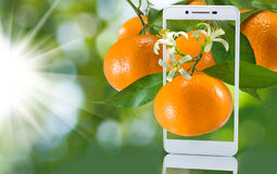oranges in a smartphone on a green background stock images