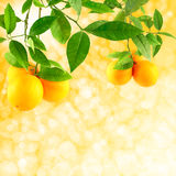 Oranges on a solar background. Sunshine background  with oranges growing on tree branches Stock Photography