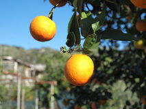 Oranges. Some oranges on the tree Stock Photography