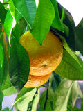 Oranges in Spain Stock Photography
