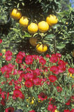 Oranges and spring flowers in Ventura Country, CA Royalty Free Stock Image