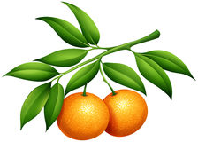 Oranges with stem and leaves. Illustration Royalty Free Stock Image