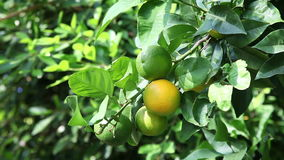 Oranges sur l'arbre banque de vidéos