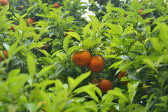 Oranges sur l'arbre Photo libre de droits