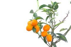 Oranges sur la branche avec des feuilles d'isolement sur le blanc Image libre de droits