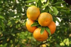 Oranges sur un arbre Image stock