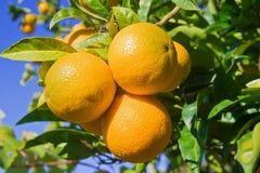 Oranges sur un arbre Photographie stock libre de droits