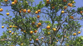 Oranges sur un arbre banque de vidéos