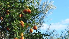 Oranges sur un arbre un jour venteux ensoleillé sur un fond de ciel bleu clips vidéos