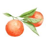 Oranges sur un branchement avec des lames D'isolement sur le fond blanc illustration stock