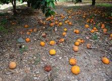 Oranges tombées couvrant la terre au-dessous des arbres oranges Image stock