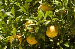 Oranges on the tree Royalty Free Stock Photos