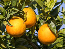 Oranges in the Tree. Three oranges still growing in the tree Royalty Free Stock Image