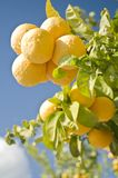 Oranges in tree Stock Image