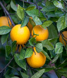Oranges on tree Royalty Free Stock Image