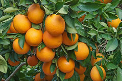 Oranges on tree Stock Photos