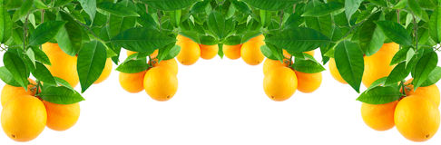Oranges on a  tree. Oranges on a branch with leaves Stock Photo