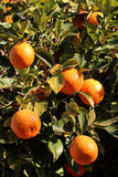 Oranges on the Tree Royalty Free Stock Photo