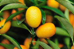 Oranges tree Royalty Free Stock Images