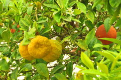 Oranges on a tree. Fresh oranges grownig on a tree stock photos