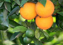 Oranges On A Tree. Ripe Oranges And The Kids royalty free stock photo