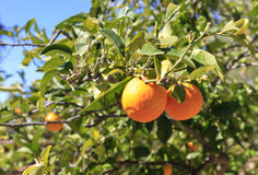 Oranges on the Tree. Beautiful Colorful Oranges ripen on the Tree Stock Photos