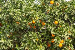 Oranges on tree branches royalty free stock photography