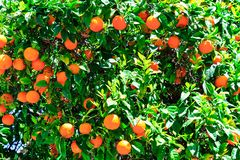 Oranges on the tree. Closeup shot Royalty Free Stock Images