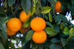Oranges in a tree Stock Images