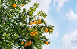 Oranges on a tree covered with snow. stock illustration