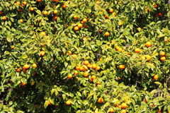 Oranges on a tree. Fresh, ripe organic oranges hanging on an orange tree Stock Image