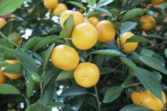 Oranges tree Royalty Free Stock Photo